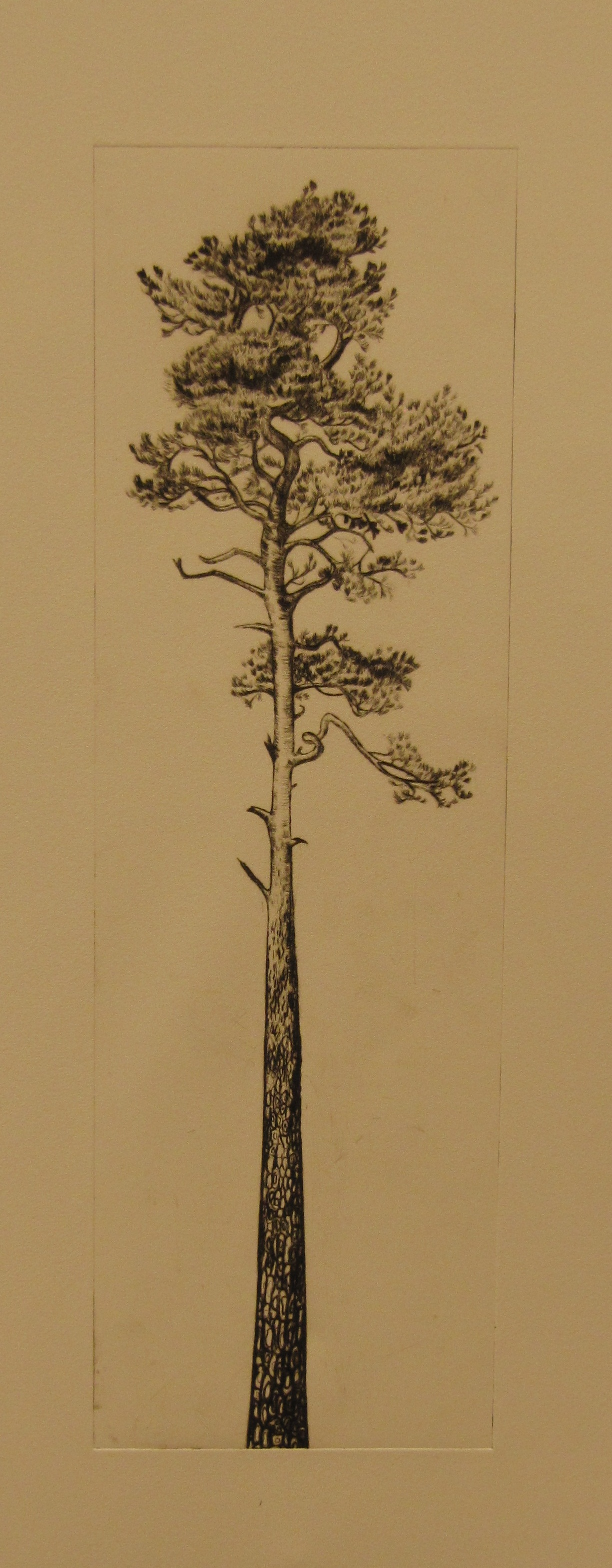 Tall Trees Drawing Tall Tree Drawing